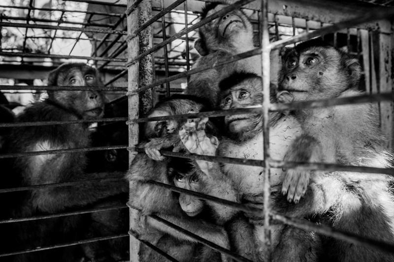 Zulkifli (EPA) menggarap esai menyentuh seputar perdagangan monyet di Pasar Ternak Sungai Sarik, Sumatera Barat. Juara 2 kategori Photo Essay APFI 2013.
