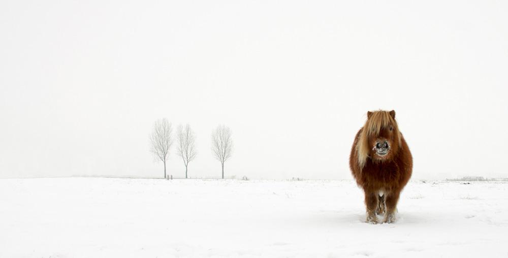 Foto kuda poni di tengah hamparan salju karya Gert van den Bosch.