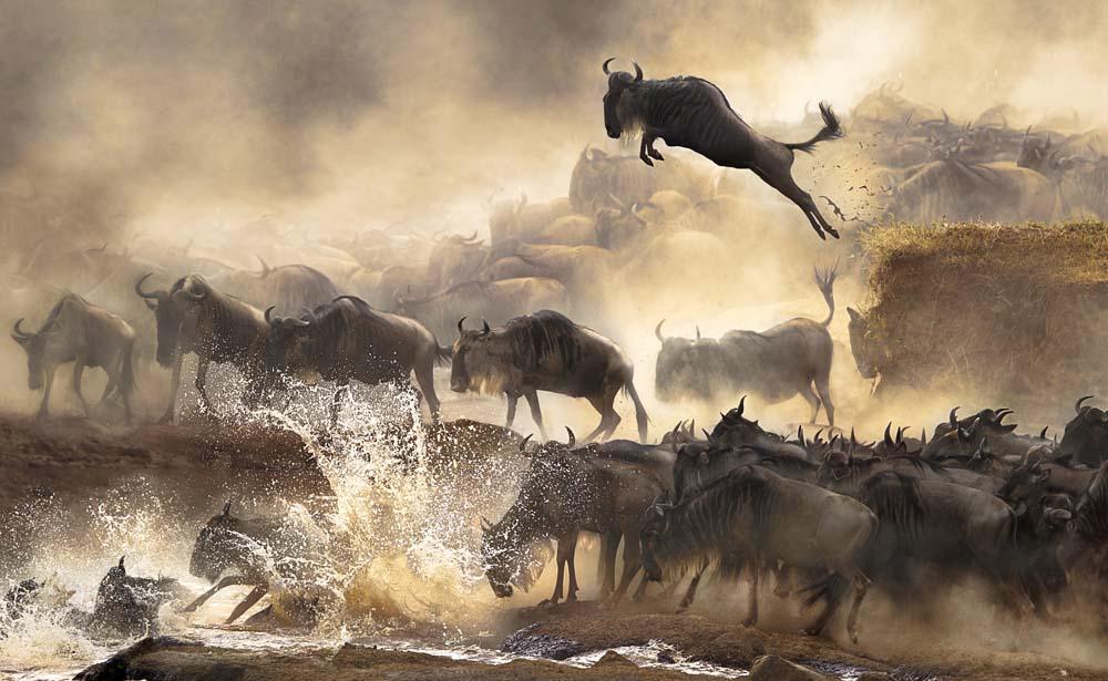 Cheung Lai San asal Hong Kong mengabadikan migrasi bison di Kenya. Foto ini juara satu di kategori National Awards—Hong Kong.