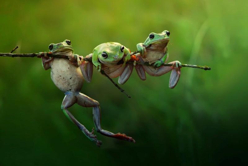 Dinominasikan dalam kategori Nature and Wildlife. Harfian Herdi berhasil memotret tiga katak kecil di pagi hari. (Harfian Herdi—2015 Sony World Photography Awards)