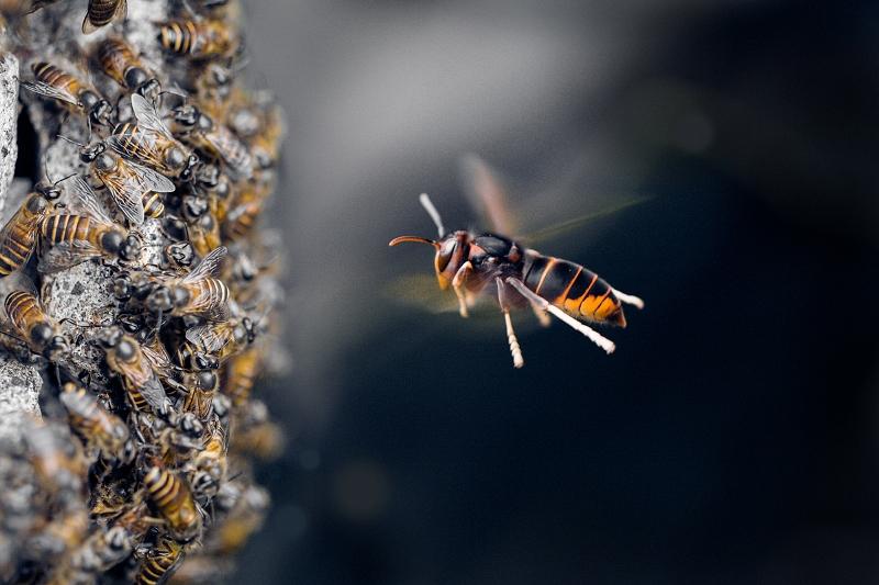 Dinominasikan dalam kategori Split Second. Karya Lessy Sebastian yang mengabadikan momen seekor lebah madu bersiap menyerang sekumpulan tawon. (Lessy Sebastian—2015 Sony World Photography Awards)