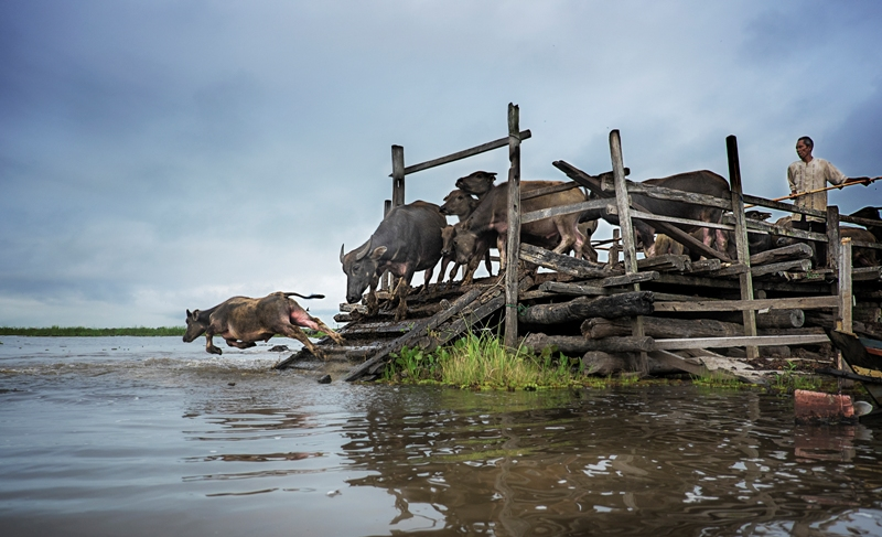 Dinominasikan dalam kategori Split Second. Karya Eko Prihariyanto yang menangkap momen aktivitas kawanan kerbau di pagi hari di daerah rawa di Danau Panggang, Kalimantan Selatan. (Eko Prihariyanto—2015 Sony World Photography Awards)