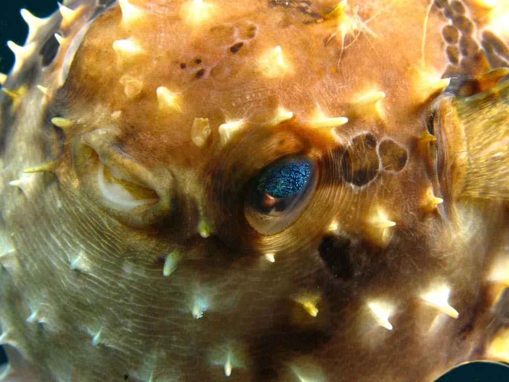Seekor ikan buntal memperlihatkan matanya yang menyerupai gugusan bintang.
