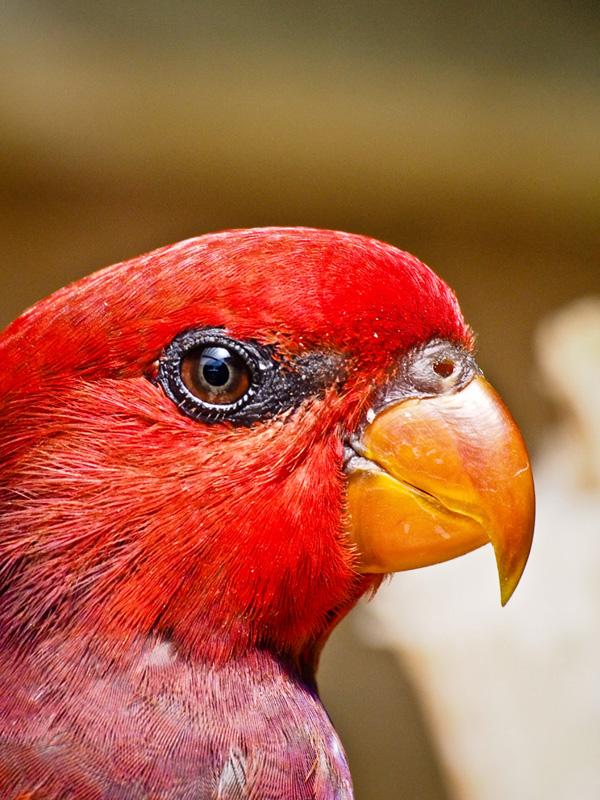 Burung Kakaktua Merah Halmahera. Aktivitas birdwatching bisa menjadi opsi kegiatan seru.