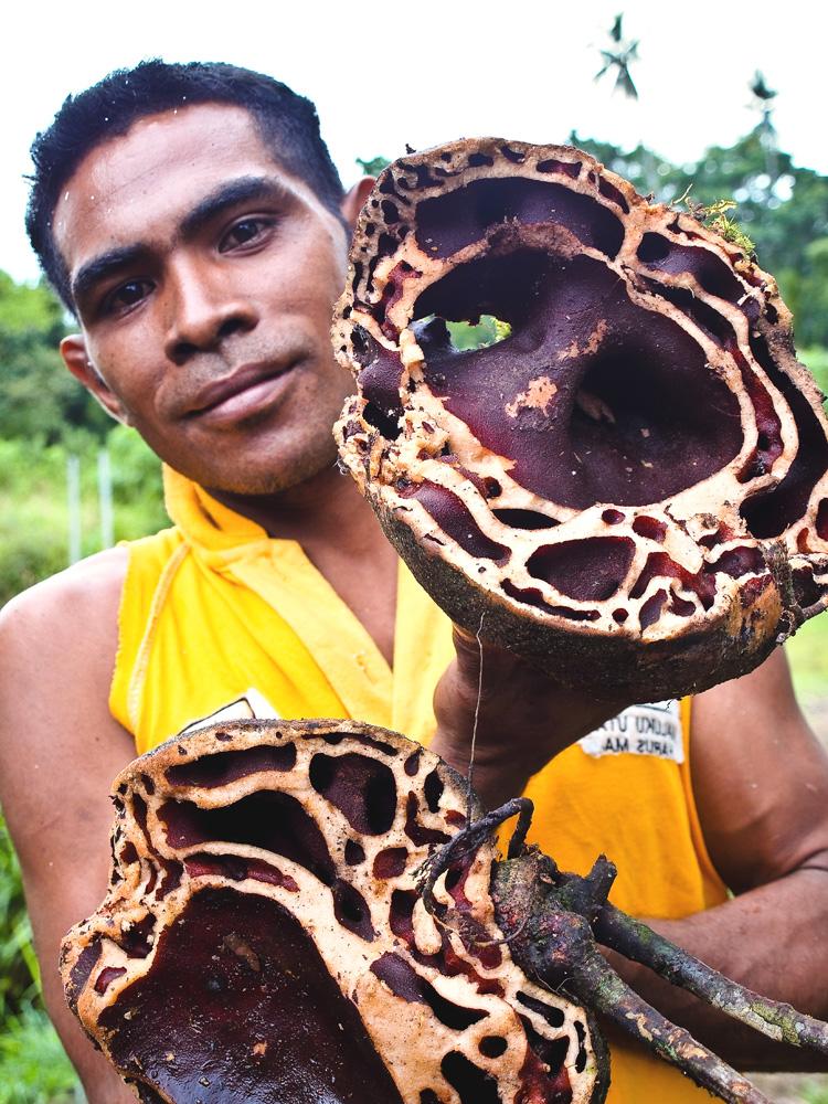 Sarang semut yang terbuat dari buah.