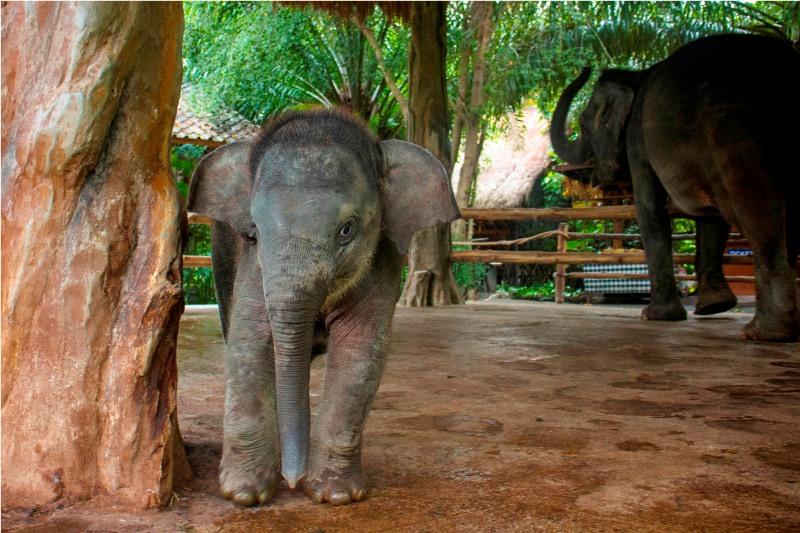 Bayi gajah yang lahir Januari silam. Ini adalah hasil dari program pengembangbiakan Bali Safari & Marine Park.
