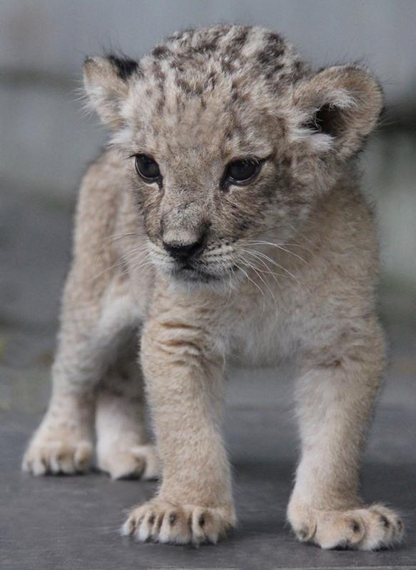 Salah satu dari dua bayi singa yang kini menghuni Bali Safari & Marine Park.