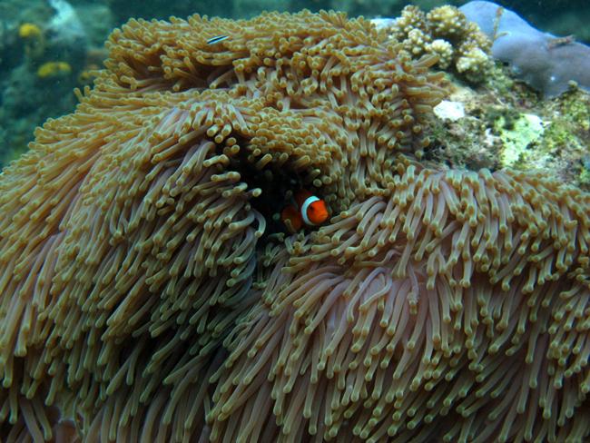 Ikan clownfish di antara anemone.