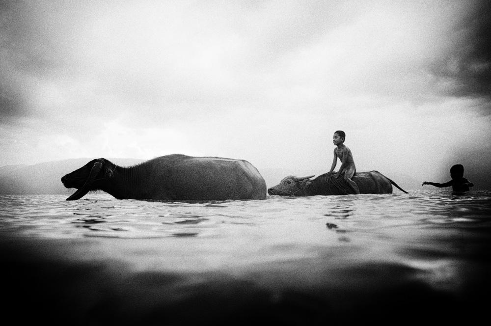 Seorang anak kecil mengembala kerbau di Danau Toba.