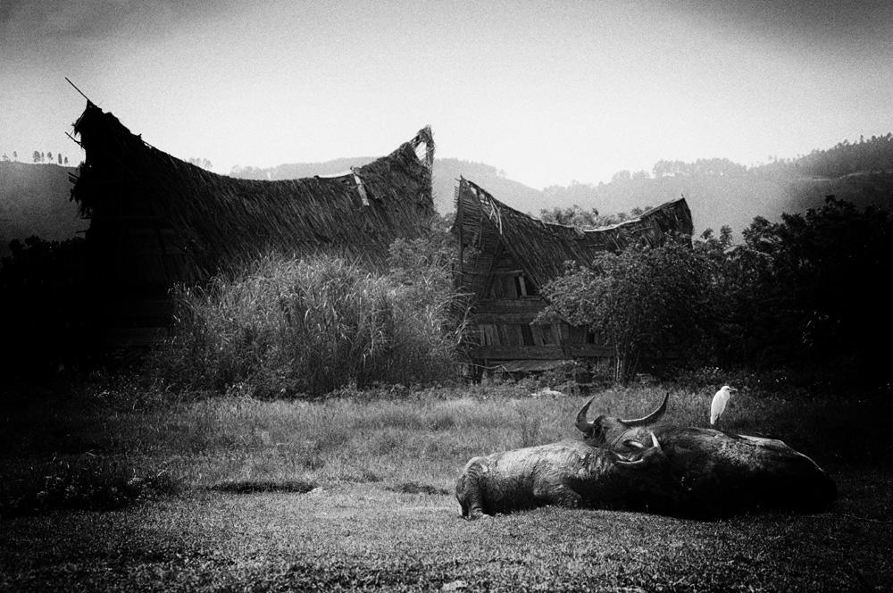 Kerbau sedang berkubang di tanah datar di sekitar kampung.