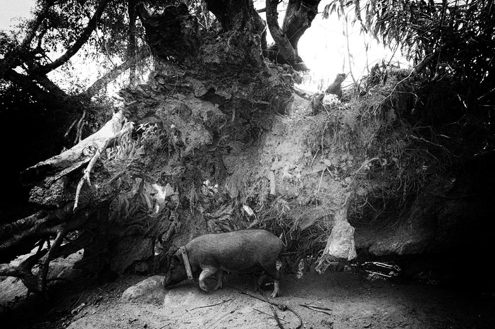 Babi bebas berkeliaran di kampung di sekitar Danau Toba.
