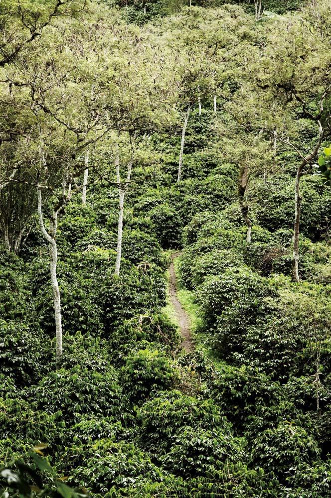 Dataran tinggi Gayo memproduksi 50-60 ribu ton biji kopi arabika per tahun.