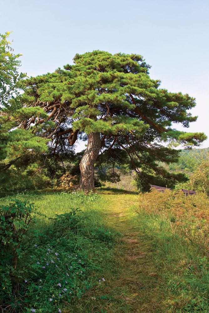Pohon pinus tua di rute antara Geumgye dan Inwol.