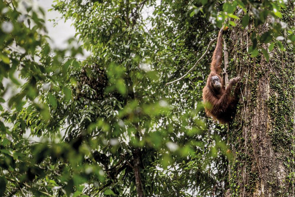 Seekor orangutan di pohon di Lembah Danum.