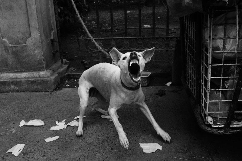 Seekor anjing peliharaan yang menyalak dengan ganas.