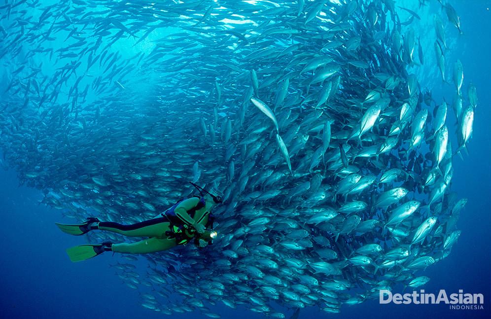 Jika beruntung, penyelam bisa menemukan kawanan big-eye travelly di bawah laut Sipadan. (Foto: Getty Images)