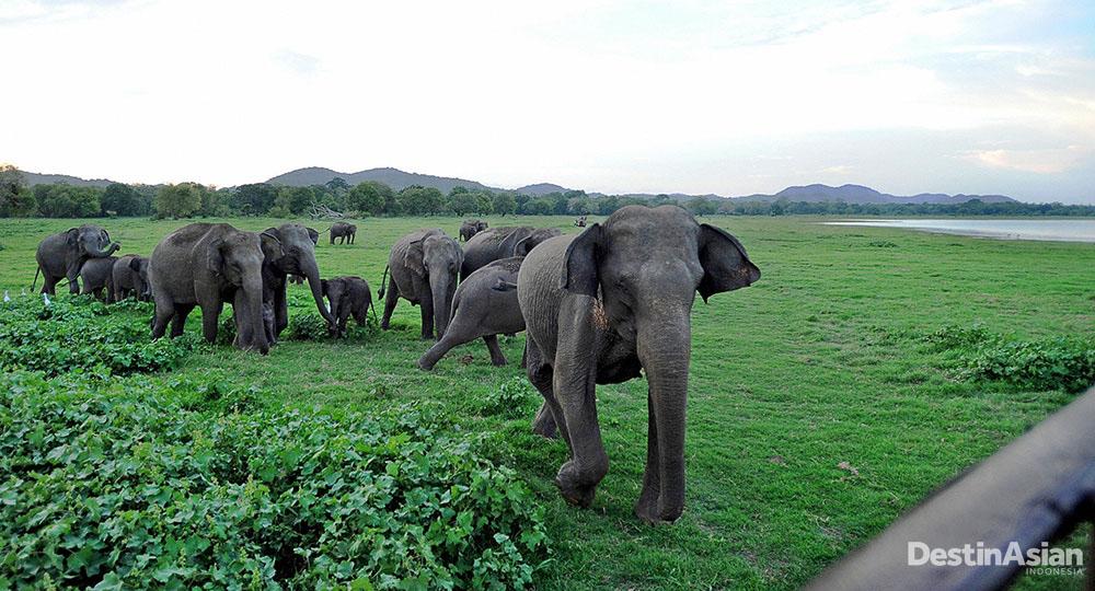 Gajah-gajah di zona konservasi di Polonnaruwa. (Foto: Getty Images)