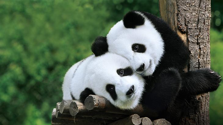 Garuda Terbangkan Dua Panda ke Indonesia | DestinAsian