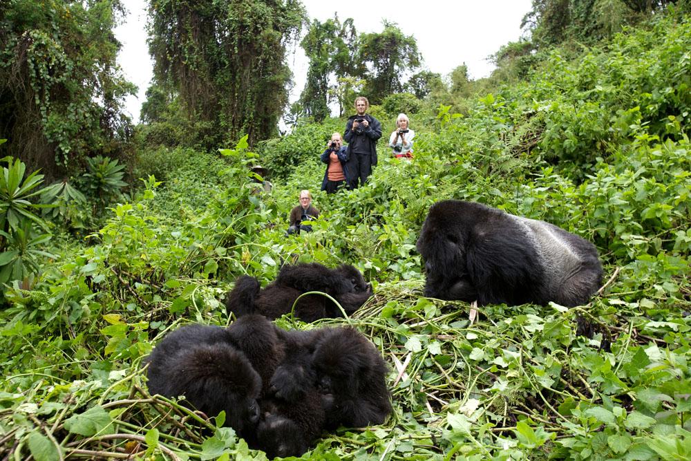 Mengikuti tur sekalian menyisihkan uang untuk kelestarian gorila di Rwanda.