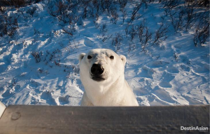 Great White Bear Tours 14