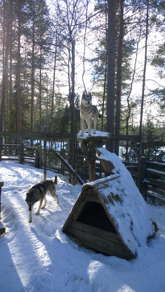 Anjing husky bisa ditemukan dengan mudah di sini.