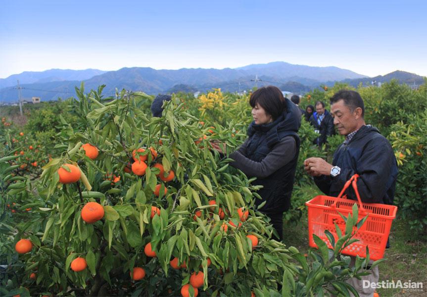 Memetik buah-buahan di perkebunan menjadi aktivitas yang mengasyikkan di Wakayama.