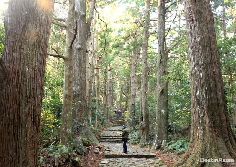 Lanskap trek Kumano Kodo di Wakayama. Beberapa pohonnya berusia lebih dari seabad.