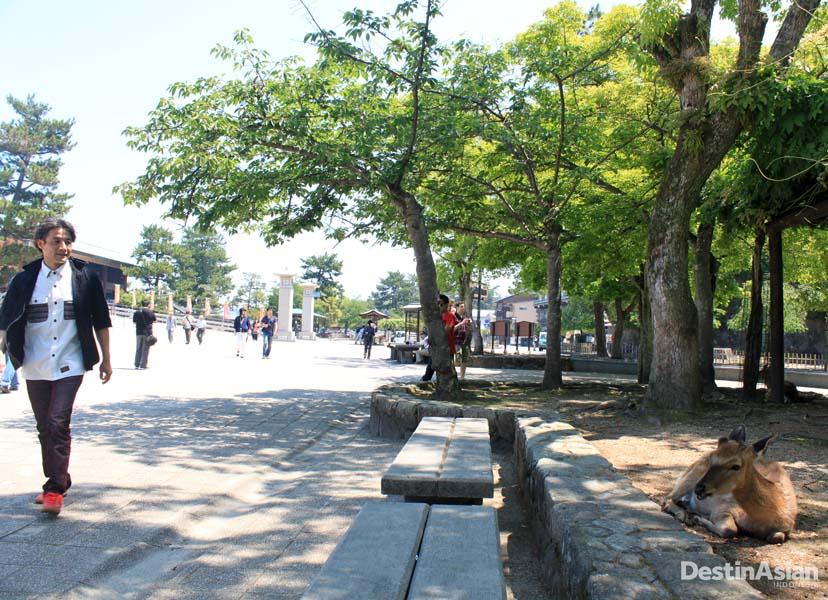 Rusa-rusa dibiarkan berinteraksi dengan pengunjung di Pulau Miyajima.