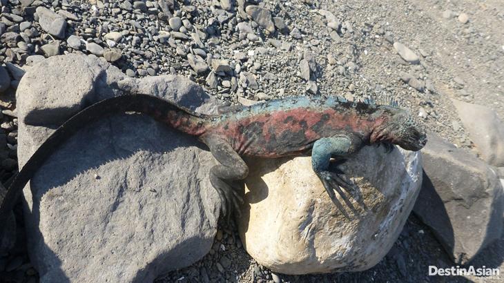 Iguana laut; salah satu satwa khas Galapagos.