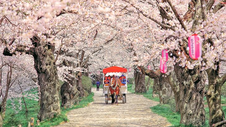 sakura jepang, jadwal sakura jepang 2019