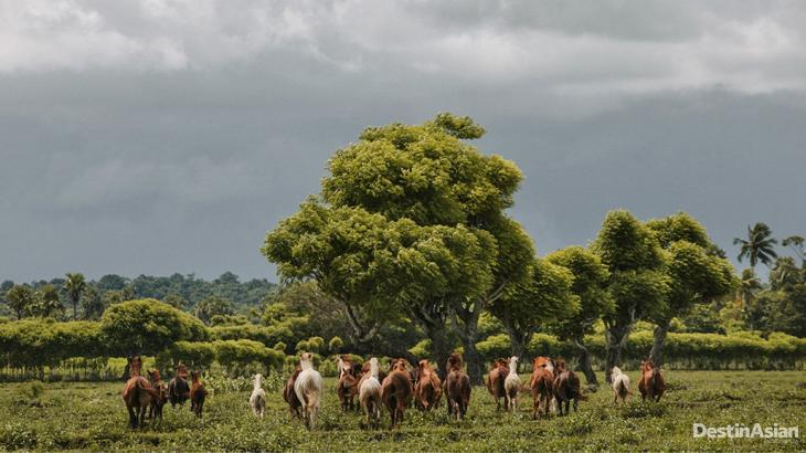 Kuda Sumbawa 01