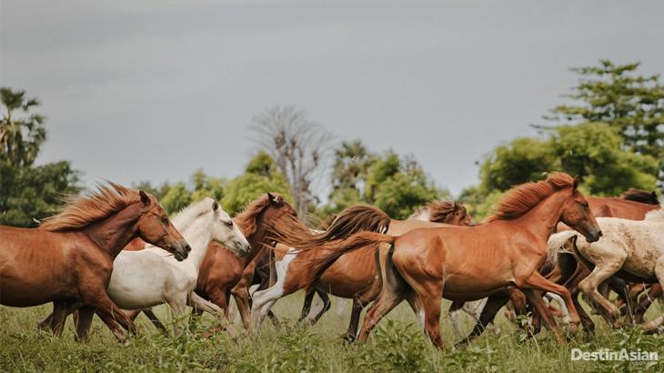 Kuda Sumbawa 05