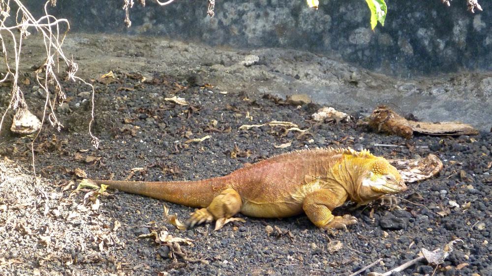 Iguana merupakan binatang khas Galapagos.
