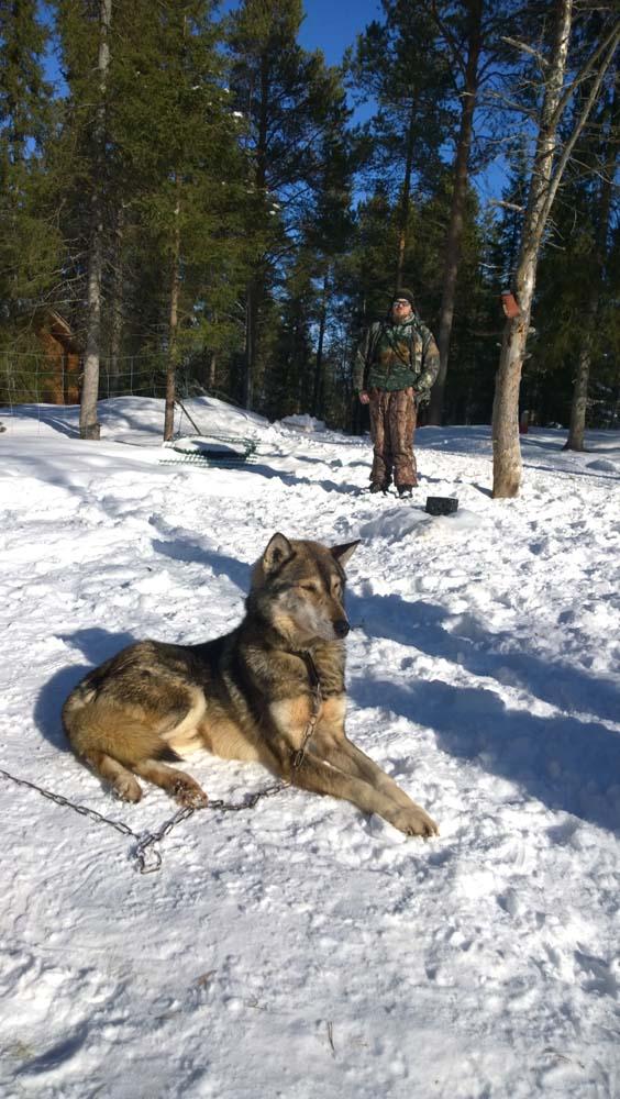 Anjing husky menjadi bintang di antara turis di Levi Village.