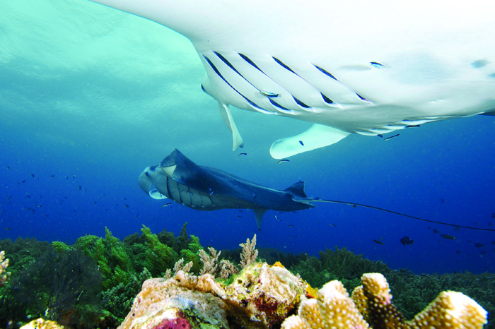 Menyelam bersama ikan manta di Misool Eco Resort. (Foto: Danielle Heinrichs - Misool Eco Resort)