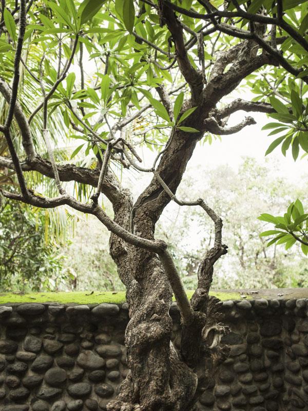 Pohon kamboja di kuburan Selaparang.