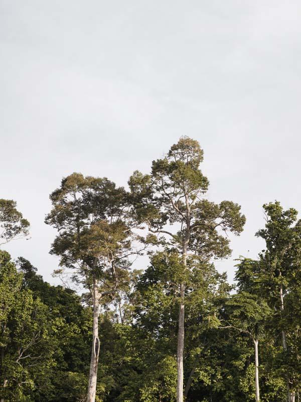 Pohon-pohon tinggi yang mengelilingi situs Candi Muarajambi.
