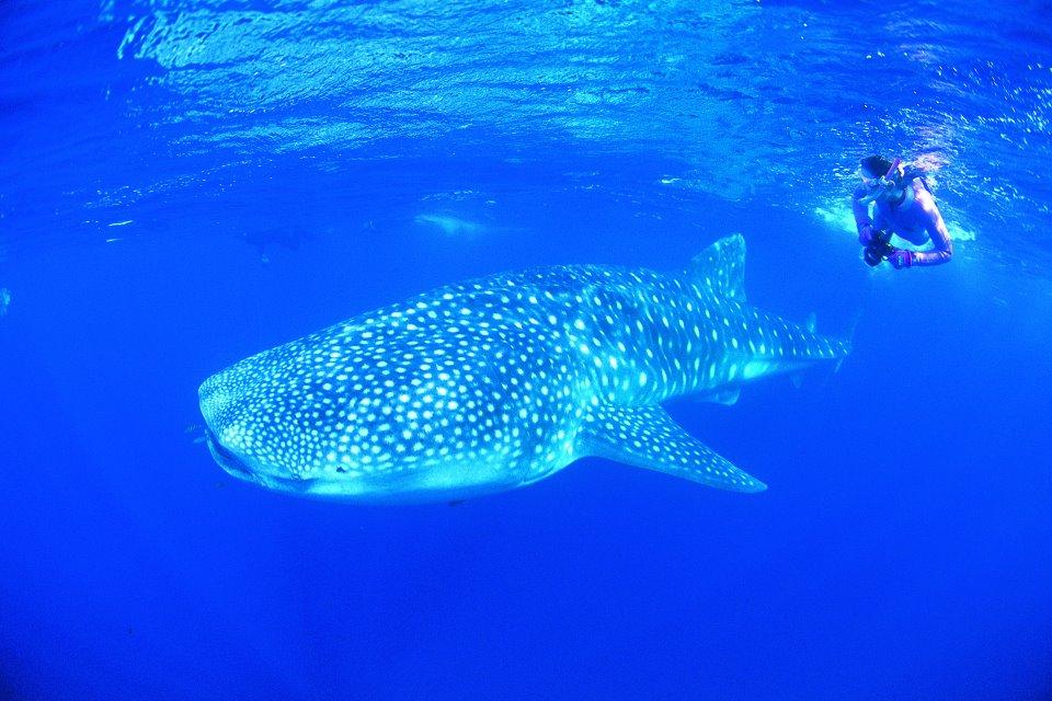 Tur melihat atau berenang langsung dengan ikan hiu paus diadakan sepanjang tahun oleh sejumlah operator. (Foto: Ningaloo Whaleshark Festival Inc.)