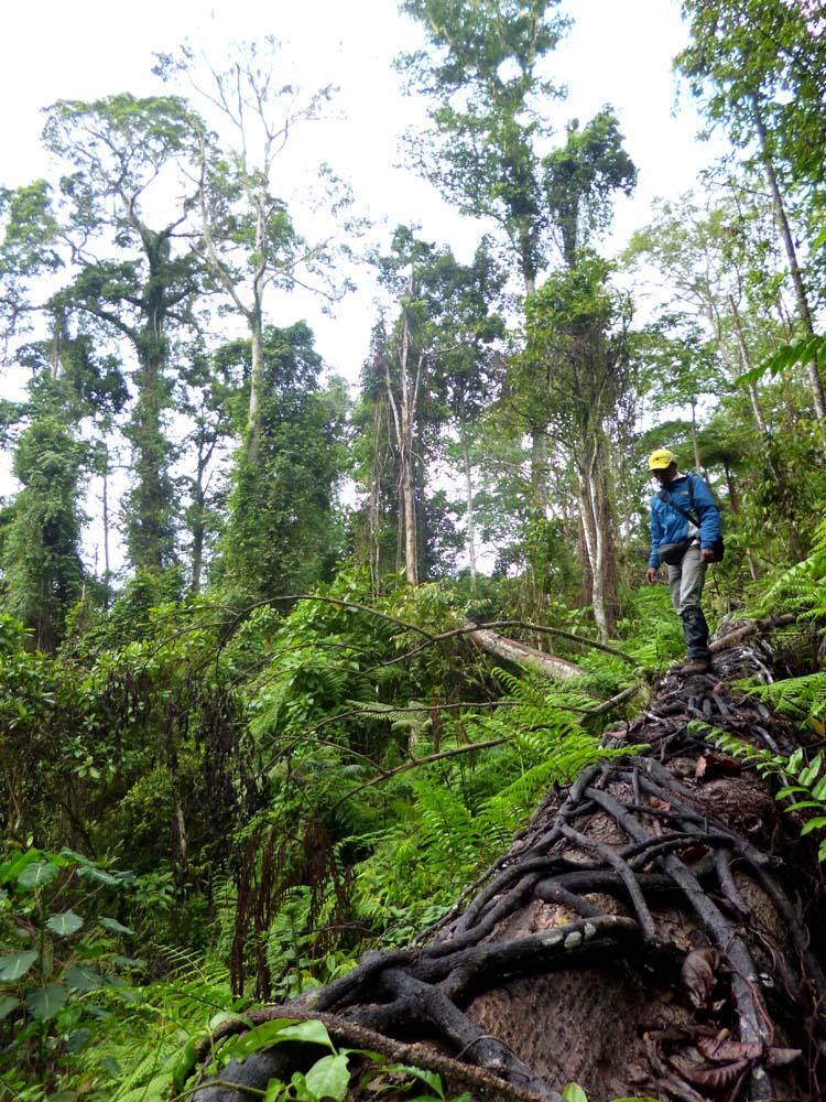 Melintasi pohon Dua Banga Molucana raksasa yang usianya lebih dari 100 tahun.