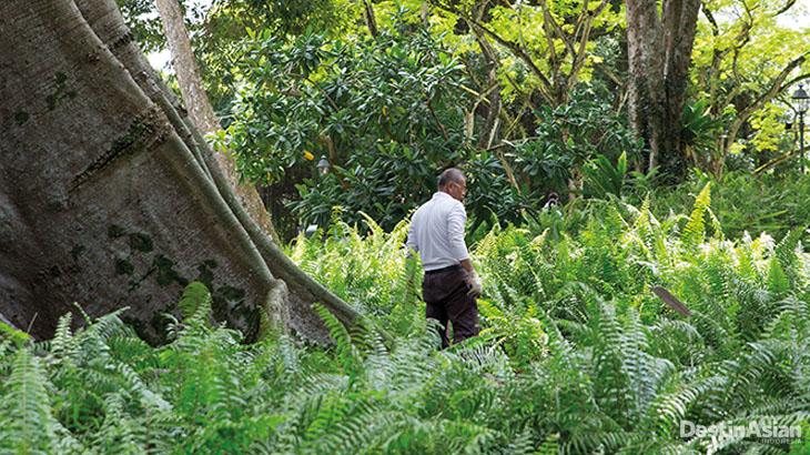 Seorang pekerja kebun di kaki salah satu pohon kapuk bersejarah di Singapore Botanic Garden.