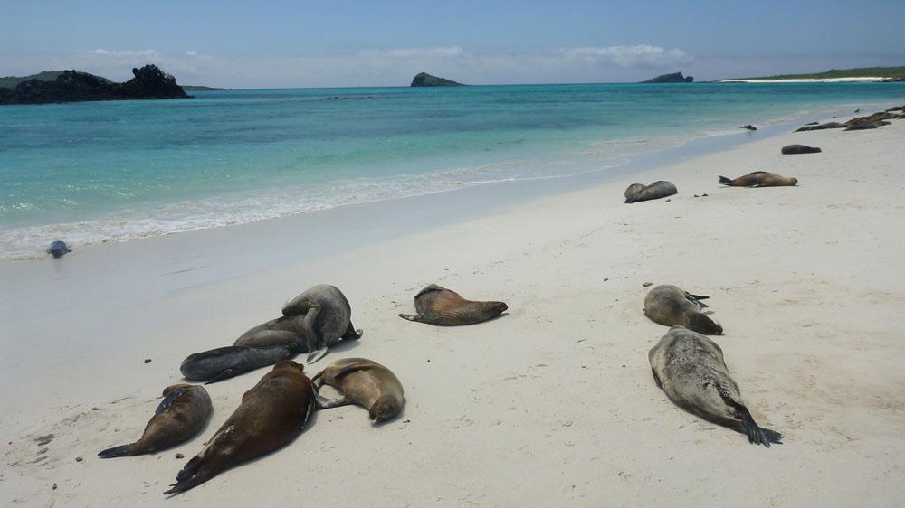Pantai Snow Beach dengan habitat anjing lautnya.