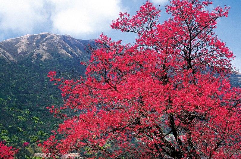 Tur termasuk menyaksikan bunga sakura yang bermekaran.