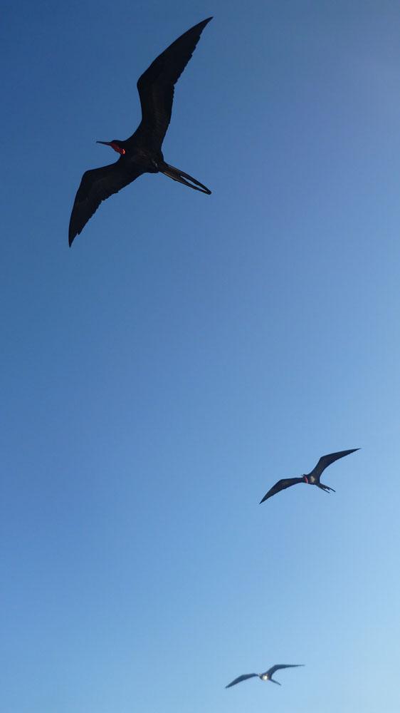 Burung fregat yang jamak dijumpai di Galapagos.
