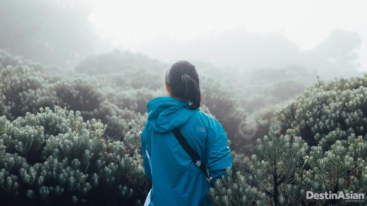 edelweiss gunung papandayan