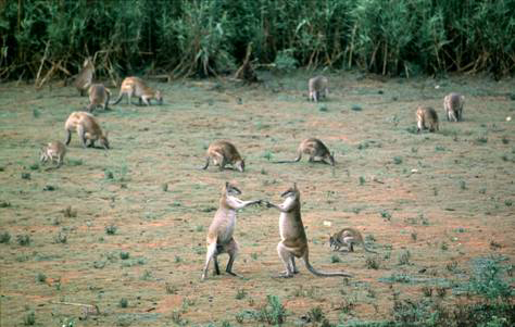 Kanguru tanah dapat ditemukan di hutan dataran rendah Papua bagian selatan dan Papua Nugini.