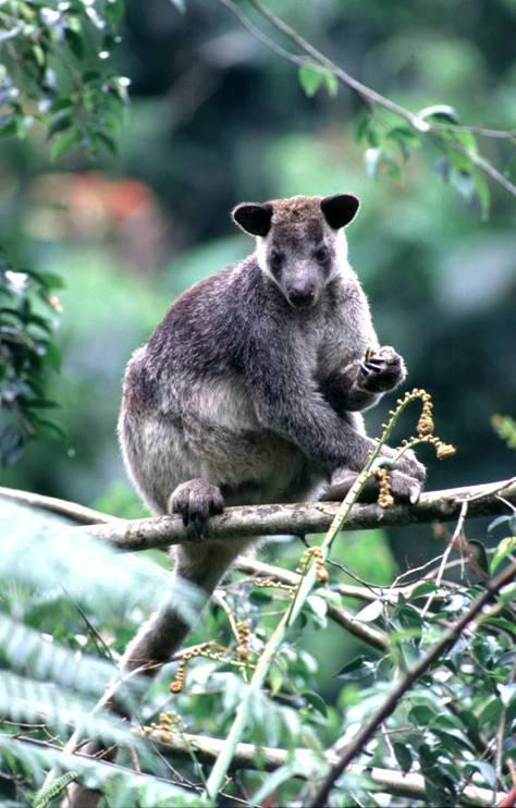 Seekor kanguru tanah sedang mencari makan di sebuah dahan pohon.