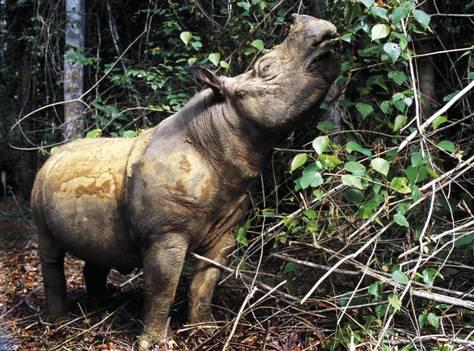Populasi Badak Sumatera kini hanya sekitar 250-300 ekor.