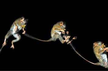 Hewan nokturnal tarsius memiliki kemampuan atletis untuk melompat dari dahan ke dahan.
