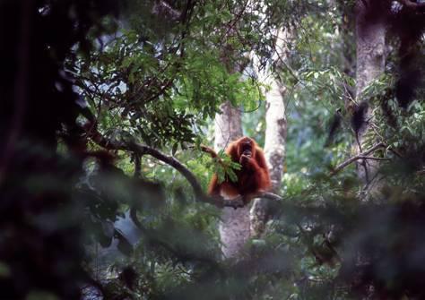Orangutan Sumatera memiliki bulu berwarna cokelat kekuningan, sedangkan kerabatnya di Kalimantan berwarna cokelat gelap.