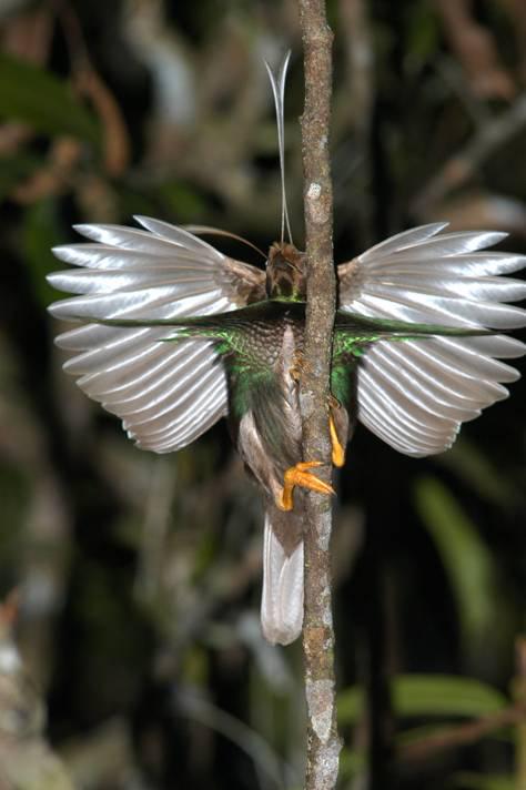 Satu-satunya cenderawasih di luar Papua, bidadari Halmahera, memamerkan bulu-bulunya guna memikat betina.